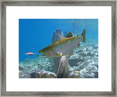 Rainbow Trout Pursuing Red And White Spoon Framed Print