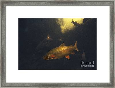 Rainbow Trout Framed Print by Ron Sanford
