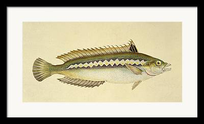 Angling Drawings Framed Prints