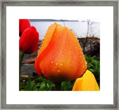 Raindrop Tulip Framed Print