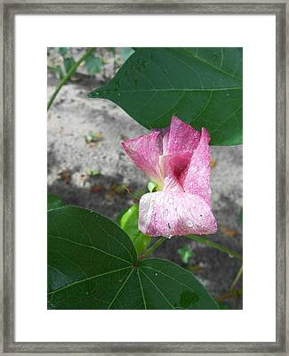 Raindrops #12 - Blooming Cotton Series - 8/5/2012 Framed Print by Dianna Jackson