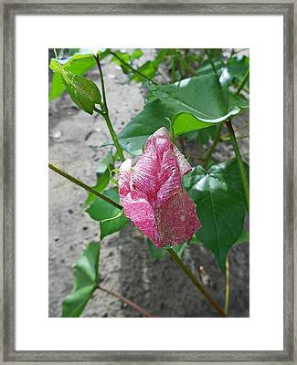 Raindrops #13 - Blooming Cotton Series - 8/5/2012 Framed Print by Dianna Jackson