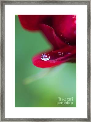 Raindrops And Roses Framed Print