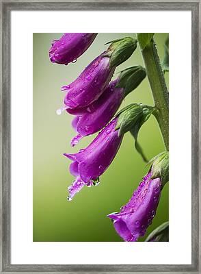 Raindrops Cling To Foxglove Petals_ Framed Print by Robert L. Potts