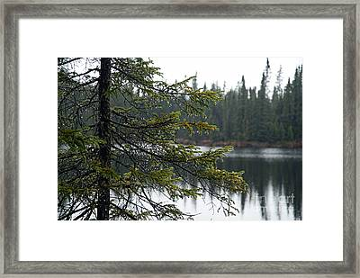 Raindrops On An Evergreen Framed Print by Larry Ricker