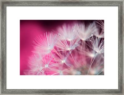 Raindrops On Dandelion Magenta Framed Print