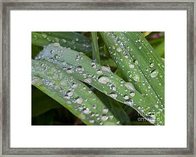 Raindrops On Daylily Leaves Framed Print by Jonathan Welch