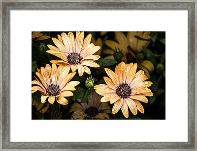 Raindrops On Gerbera Daisies Framed Print by Photographic Art by Russel Ray Photos