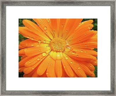 Raindrops On Orange Daisy Flower Framed Print by Jennie Marie Schell
