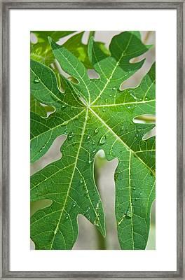 Raindrops On Papaya Tree Leaf, La Framed Print by Panoramic Images