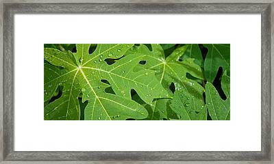 Raindrops On Papaya Tree Leaves, La Framed Print by Panoramic Images