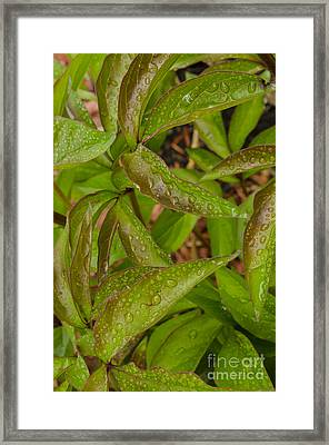Raindrops On Peony Leaves Framed Print by Deborah Smolinske