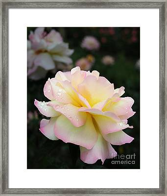 Framed Print featuring the photograph Raindrops On Rose Petals by Barbara McMahon