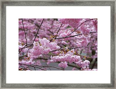 Raindrops Springtime Pink Tree Blossoms Art Framed Print by Baslee Troutman