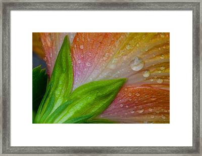 Rained Hibiscus  Framed Print