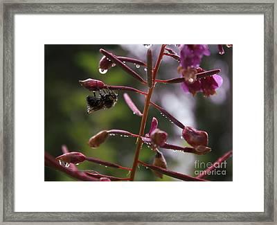 Rained Soaked Brandywine Bee Framed Print by Amanda Holmes Tzafrir