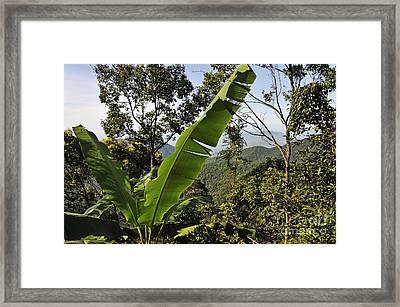 Rainforest And Banana Tree Framed Print by Sami Sarkis