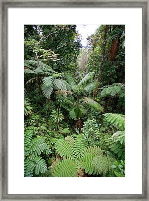 Rainforest, Southern Dominica, Seen Framed Print by Susan Degginger