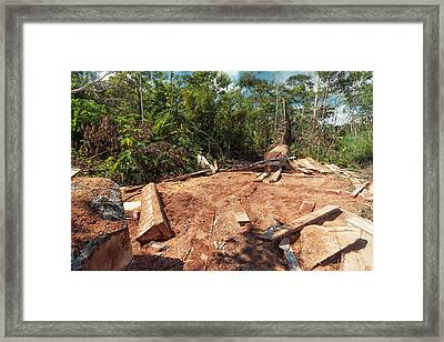 Rainforest Tree Cut For Planks Framed Print by Dr Morley Read