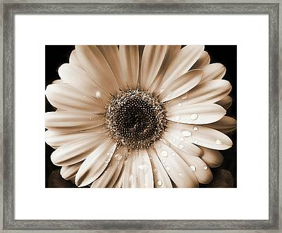 Raindrops On Gerber Daisy Sepia Framed Print by Jennie Marie Schell
