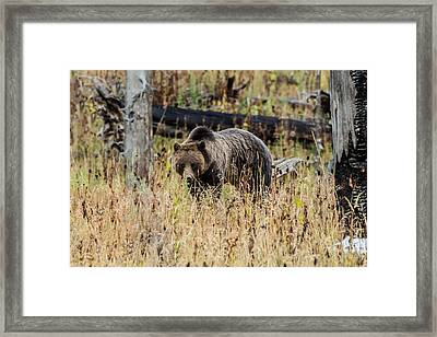 Framed Print featuring the photograph Rainy Day Grizzly Sow by Yeates Photography
