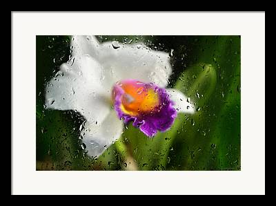Cattleyas Framed Prints