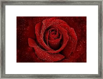 Rainy Day Rose Framed Print