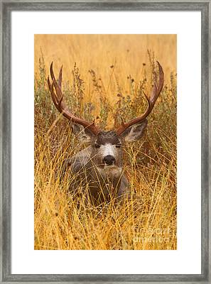 Framed Print featuring the photograph Rainy Mountain Buck by Aaron Whittemore