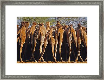Framed Print featuring the photograph Rajasthan Camel Station by Dennis Cox WorldViews