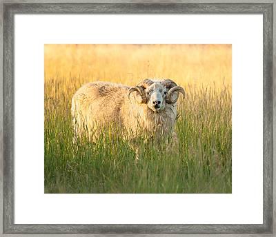 Ram Curls Framed Print by Joan Herwig