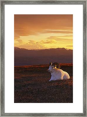 Ram Dall Sheep At Sunset In Front Framed Print