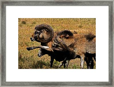 Framed Print featuring the photograph Rams At Half-time by Doc Braham