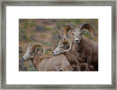 Rams In Three Framed Print