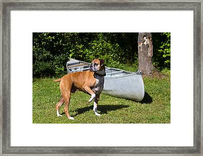 Ranger The Boxer Framed Print by Stephanie McDowell
