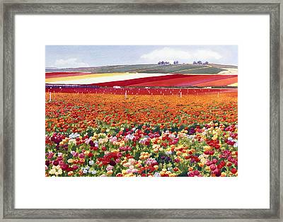 Ranunculi In Carlsbad Framed Print by Mary Helmreich