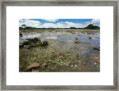 Ranunculus Aquatilis In A Pauli Framed Print