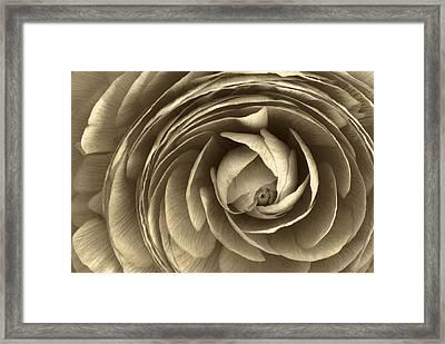 Ranunculus Framed Print by Cindy Rubin