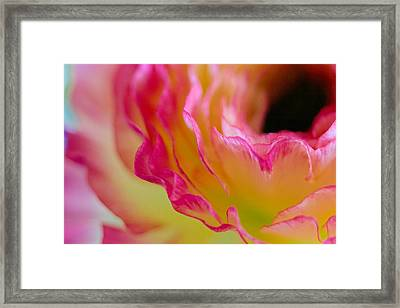 Ranunculus Ruffles Framed Print