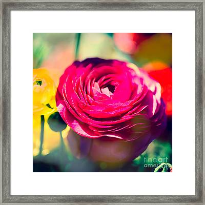 Ranunculus Squared Framed Print by Sonja Quintero