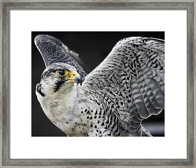 Raptor Framed Print by Fiona Messenger