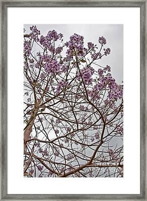 Rare Foxglove Tree - Paulownia Tomentosa  Framed Print