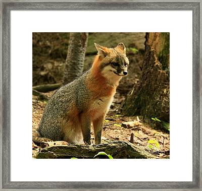 Rare Grey Fox On Alert In The Forest Framed Print by Inspired Nature Photography Fine Art Photography