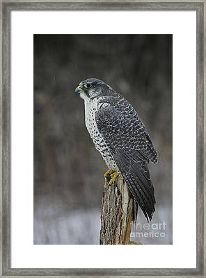 Rare Gyrfalcon Raptor In The Snow Framed Print by Inspired Nature Photography Fine Art Photography