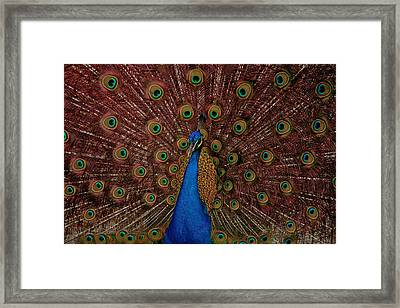 Rare Pink Tail Peacock Framed Print by Eti Reid
