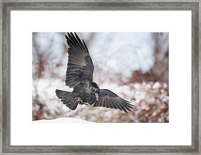 Raven In Flight Framed Print by Bill Wakeley