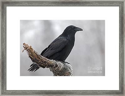 Raven In Profile Framed Print by Tim Grams