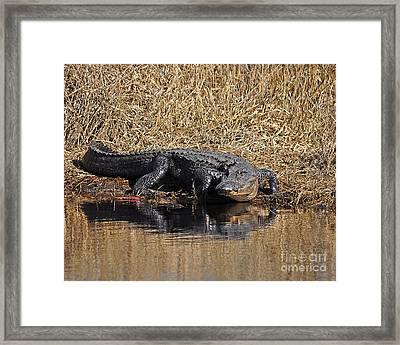 Ravenous Reptile Framed Print