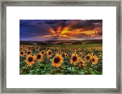 Rays Of Sunflowers Framed Print