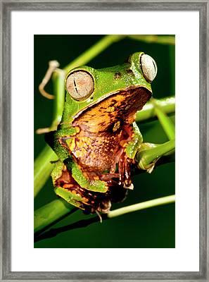 Razor Backed Monkey Frog Phyllomedusa Framed Print by David Northcott