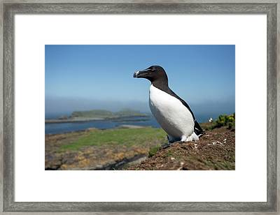 Razorbill On A Coastal Ledge Framed Print by Simon Booth